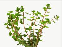 Rotala Indica Freshwater Live Aquarium Plants Bunch Rotundifolia Buy2get1free
