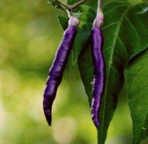 PURPLE CAYENNE PEPPER SEEDS 30+ rare HOT & SPICY salsa NON-GMO FREE SHIPPING