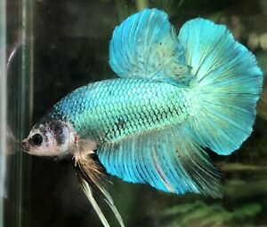 "betta fish male giant green marble size BO 2"""