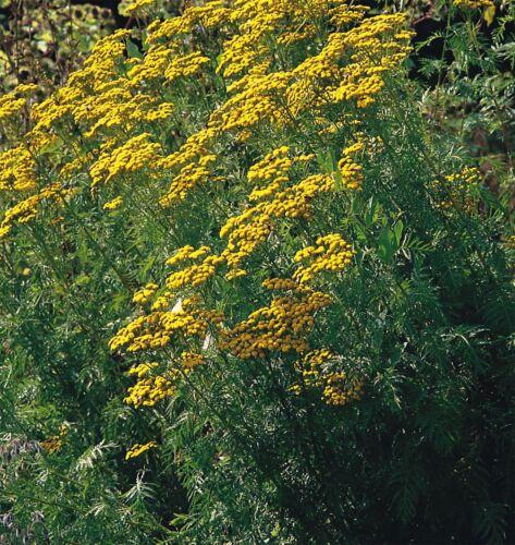 2G environ 17000 graines-paquet en vrac Fines herbes-Tanaisie commune-Tanacetum vulgare
