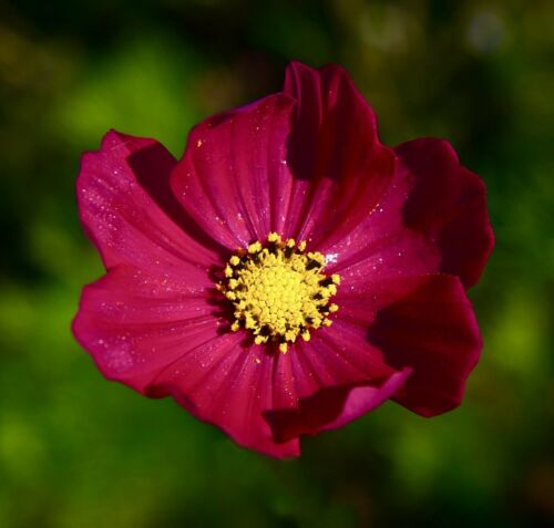 Red Cosmos Dazzler Flower Seeds Packet 1 GRAM Easy to Grow USA Cosmo pretty nice