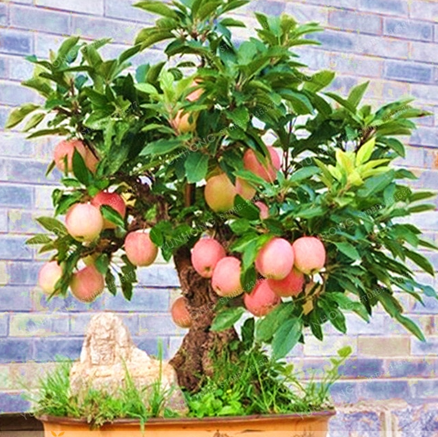 Apple Tree Bonsai Dwarf MINI Fruit Home Garden Planting 50 PCS Seeds NEW 2019 X