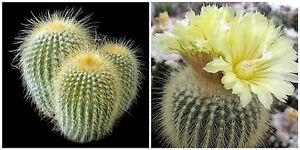 10 graines de Eriocactus claviceps cactus seeds F
