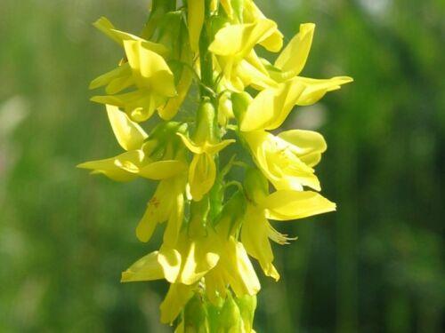 Mélilot Jaune graines Melilotus Officinalis-bokharaklee 3.000