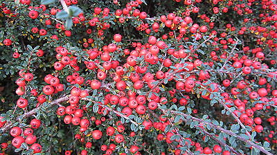 COTONEASTER LACTEUS  25 + SEEDS.  Stunning Autumn and Winter Red Berries