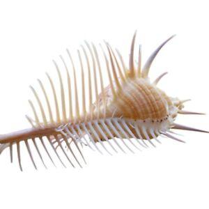 Escargot-Naturel-Escargot-Escargot-Venus-Escargot-Shell-Conque-Aquarium-Pay-Y5A5