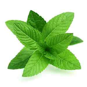 2000 peppermint seeds mentha piperita garden herb medicinal plant mojito ebay. Black Bedroom Furniture Sets. Home Design Ideas