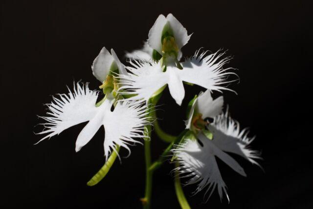 100 Seeds Japanese Radiata White Dove Egret Orchid Beautiful Bird Shape Flower