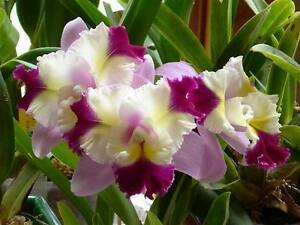 Rare-orchid-hybrid-near-bloom-laeliocattleya-Mari-039-s-Song