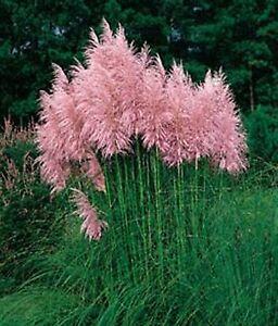 300-Samen-Cortaderia-selloana-rosa-Feder-Pampasgras