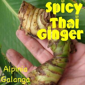 HOT-amp-SPICY-THAI-GINGER-Alpinia-Galanga-LIVE-SPICE-Galanga-Bare-Root-RHIZOME