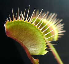 Venus Fly Trap Green Dragon Cultivar House Garden Plants Catches Insects Dionaea