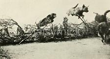 British Army Training Messenger Dogs To Wire World War 1 7x4 Inch Reprint Photo
