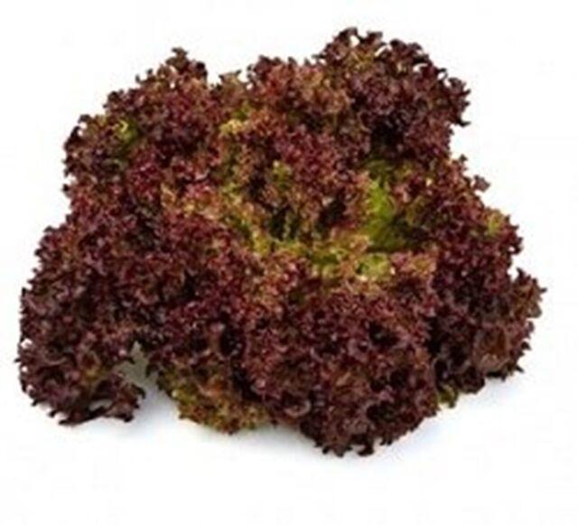Leaf Lettuce Lollo Rosso - Heirloom -  Vegetable Seeds - NON GMO