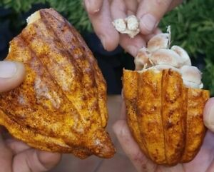 CACAO-SEEDS-15-Fresh-Sustainably-Grown-Cacao-Seeds-from-Puerto-Rico