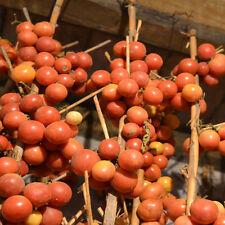Tomate De Colgar 5+ Samen - Saatgut - LAGERFÄHIG und ERTRAGREICH!