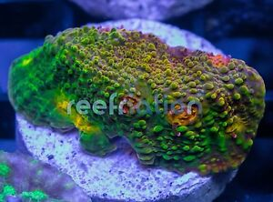coral Rainbow chalice
