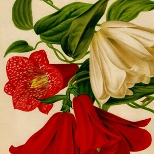 Antique Circa 1870s Botanical Print Lapageria Rosea The Garden Magazine Chromo