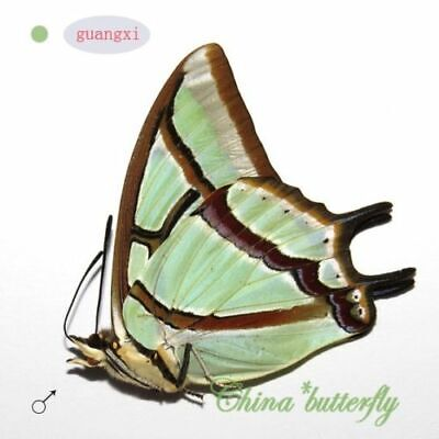 5 unmounted butterfly Nymphalidae Polyura eudamippus GUANGXI  A1   A1