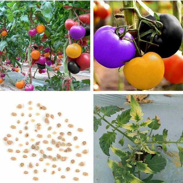 100pcs//bag Mixed color Tomato Seeds Rainbow Tomatos Rare Organic Vegetable Seeds