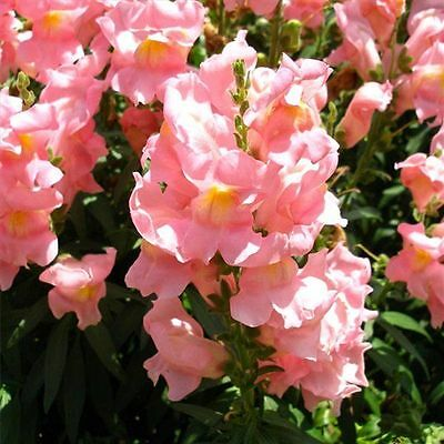 Seeds Snapdragons Antirrhinum majus maximum Snow Annual Flower Seeds from Ukraine
