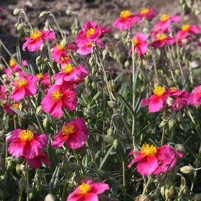 Sonnenröschen ( Helianthemum 'Ben Hope' )