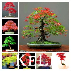 Japanese Red Maple Bonsai Tree Garden Mini Plants 20 Pcs Seeds 11 Kinds Mixed N Ebay