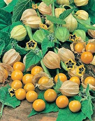 Physalis peruviana Cape Gooseberry 10 seeds