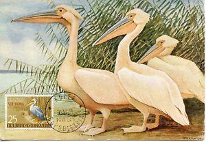 Carte Postale Maximum // Faune // Yougoslavie // Pelicans Blancs