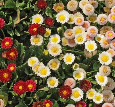 Bellis 100 Seeds BOGO 50/% off SALE Rose