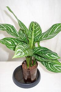 Aglaonema-stripes-15-19-ca-60-cm-Hydrokultur-Zimmerpflanzen-Hydropflanze