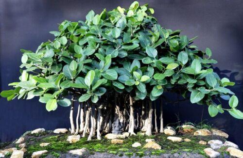 Indian Ficus Banyan Bonsai Plant Fresh Seeds Shipped From Canada