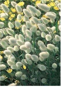 Ornamental-Grass-Bunny-039-s-Tails-Lagurus-Ovatus-100-Seeds
