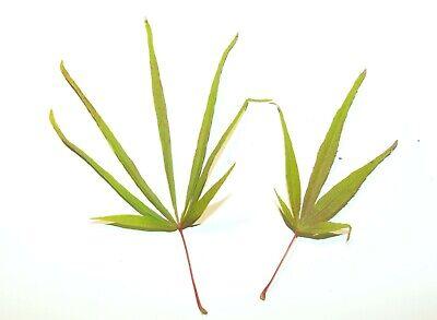 Mapl seeds Acer palmatum var dissectum 10 graines fraîches d/'Erable palmé