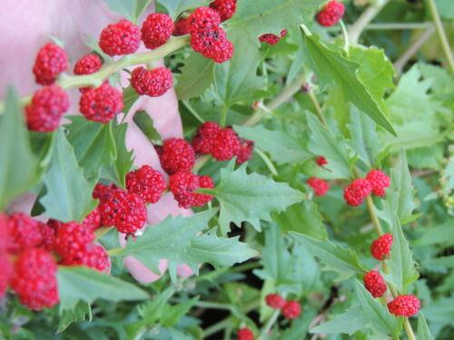 * Echter Erdbeerspinat Rarität 120 Korn handverlesen frisch *