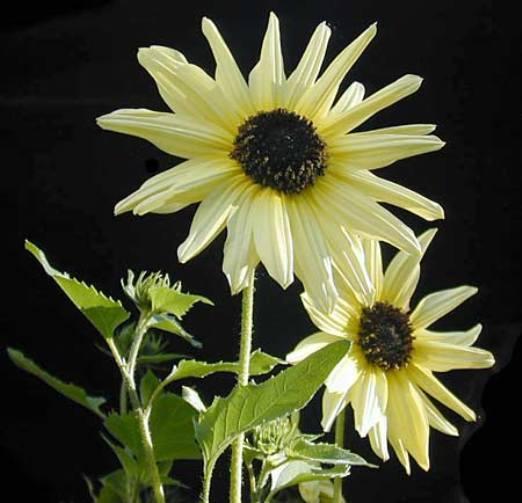 FLOWER SUNFLOWER ITALIAN WHITE 0.5 GRAM ~ 95 FINEST SEEDS