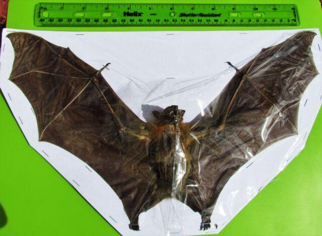 "Lot of 5 Lesser Short-nosed Fruit Bat Cynopterus brachyotis Spread 13+"" Span USA"