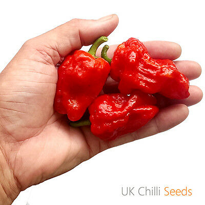 JAMAICAN GOLD Chili Pepper Seeds  Item #2185-20 seeds