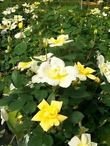 Sunny Knock Out Yellow Roses 2 Gal