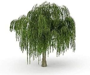 Dwarf-Weeping-Willow-Tree-Thick-Trunk-Cutting-Exotic-Bonsai-Material