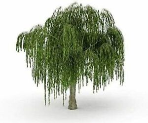 Dwarf Weeping Willow Tree - Thick Trunk Cutting - Exotic Bonsai Material