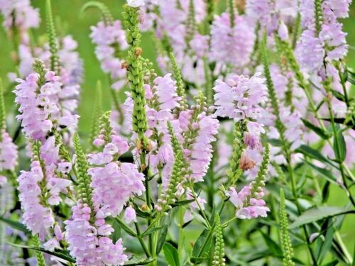 100+OBEDIENT PLANT Flower Seeds American Native Wildflower Garden//Containers