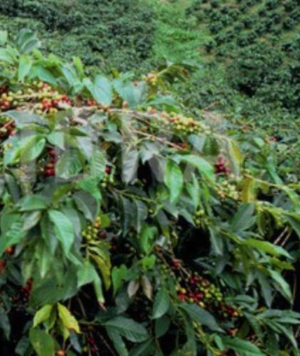 2kg-Rohkaffee-Gruenkaffee-ZAMBIA-SAMBIA-selber-roesten-Arabica-Kaffeebohnen