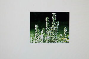 10 Samen Ysop, weiß blühend,Hyssop<wbr/>us officinalis,se<wbr/>ltene Unterart, # 207