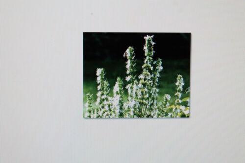 10 SEEDS Hyssop Hyssopus officinalis RARE subspecies # 207 WHITE FLOWERING