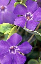 40 FRAGRANT ORCHID COLOR PERIWINKLE FLOWER SEEDS /ANNUAL/ VINCA / DEER RESISTANT