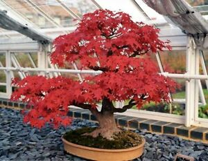 Red Maple Hybrid Bonsai Japanese Tree Cheap Seeds Very Beautiful Indoor Home Pot Ebay