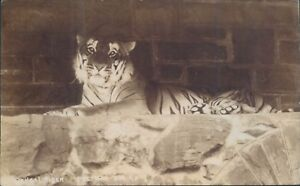 Postcard-Bengal-Tiger-Pretoria-Zoo-Real-photo-unposted
