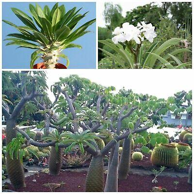 succulents seed C 10 seeds of  Pachypodium rosulatum