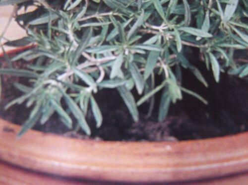 Bohnenkraut Saatgut,Samen,Sämereien,Kräuter.P.58 einjährig Pfefferkraut
